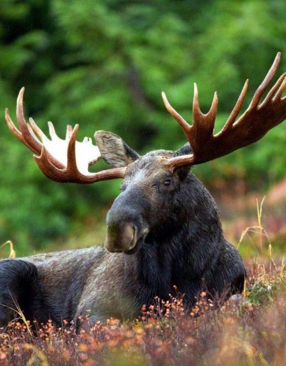 moose-70254_1280 (1)